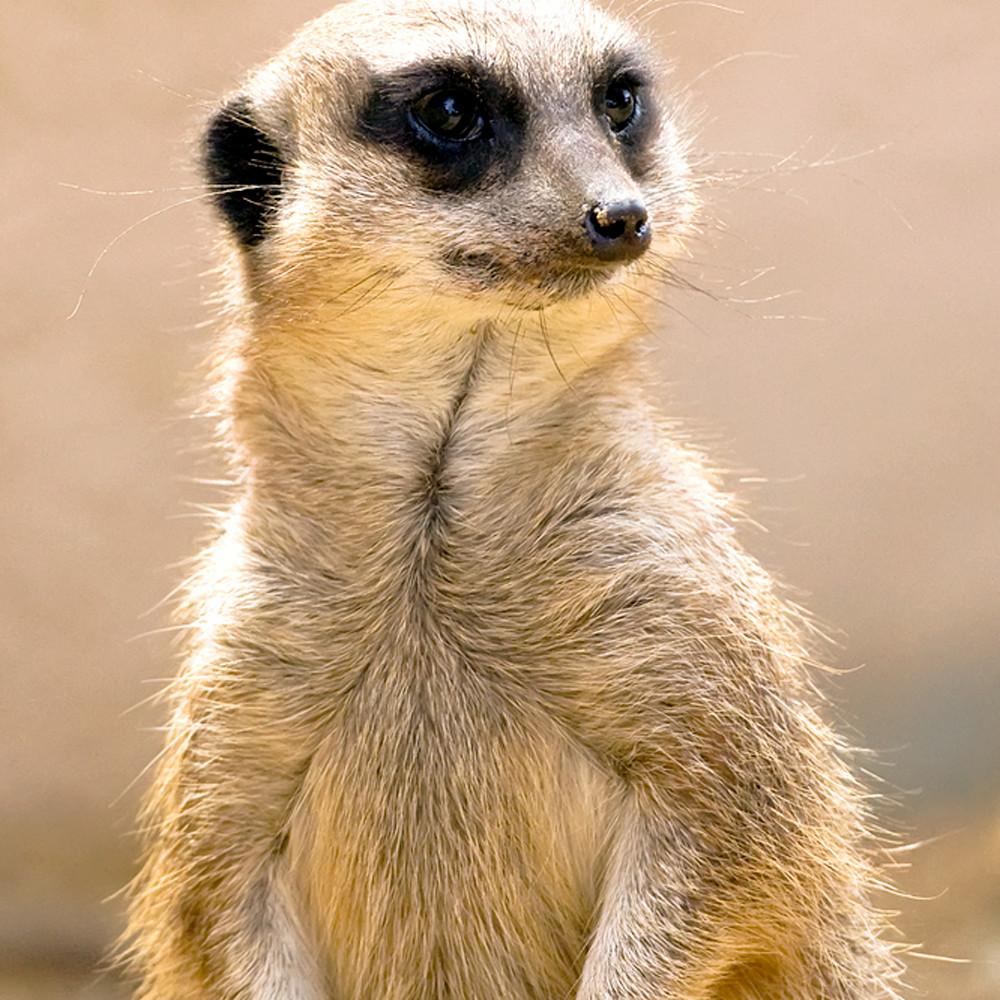 Meerkats 006 yc3zzi