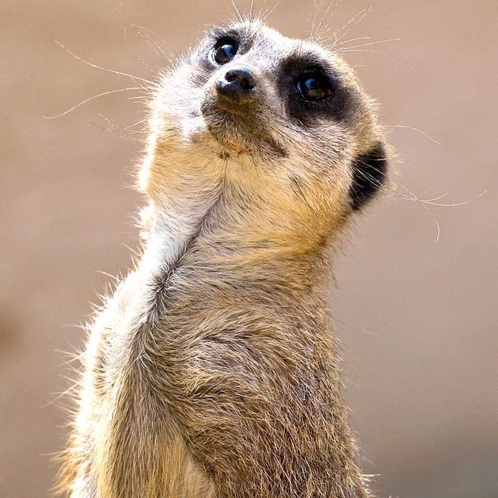 Meerkats 005 yamoxs