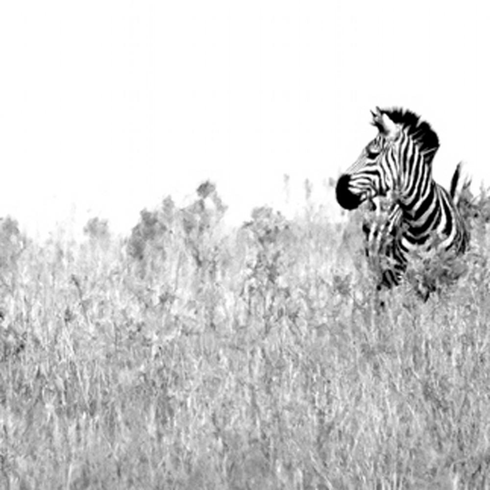 Zebras 012 h5nsx5
