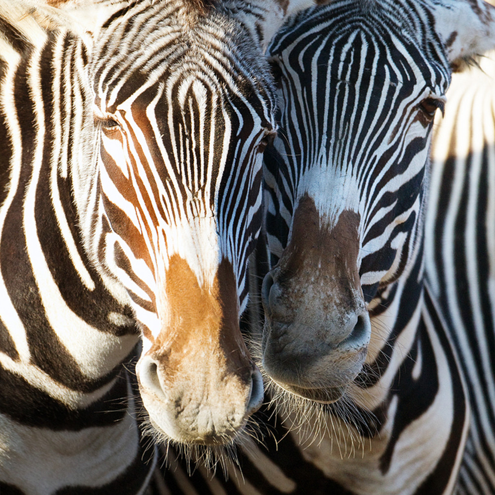 Zebras 008 x1db44