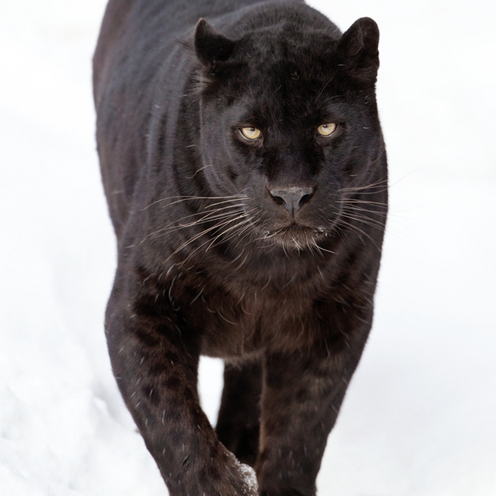 Black panthers 005 zegqm1