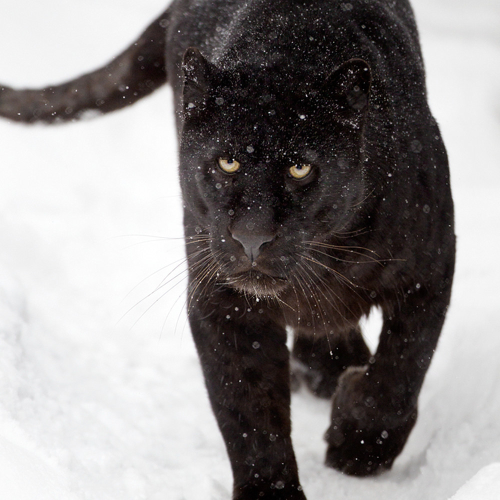 Black panthers 006 nlblyc