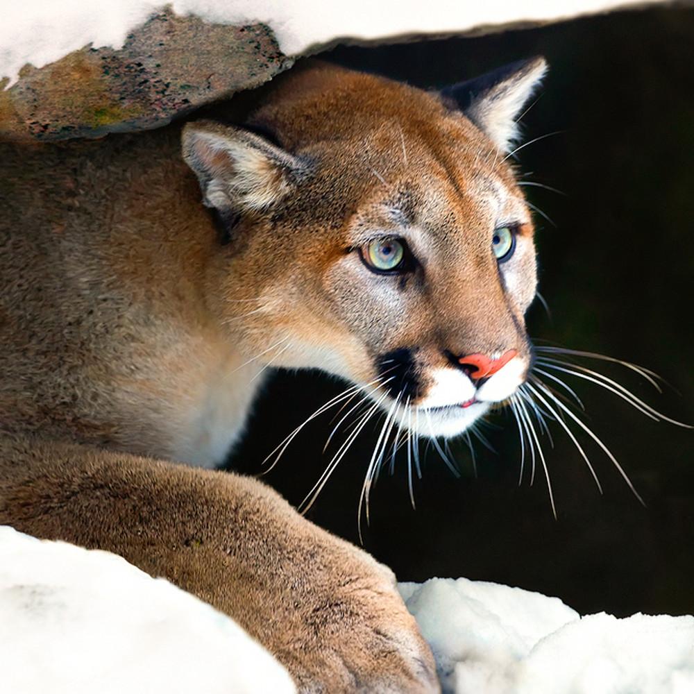 Cougars 008 lmtppj