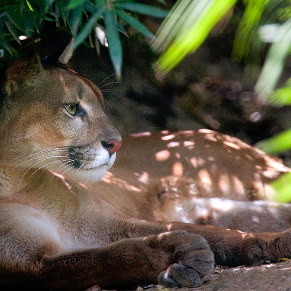 Cougars 009 ugom6f