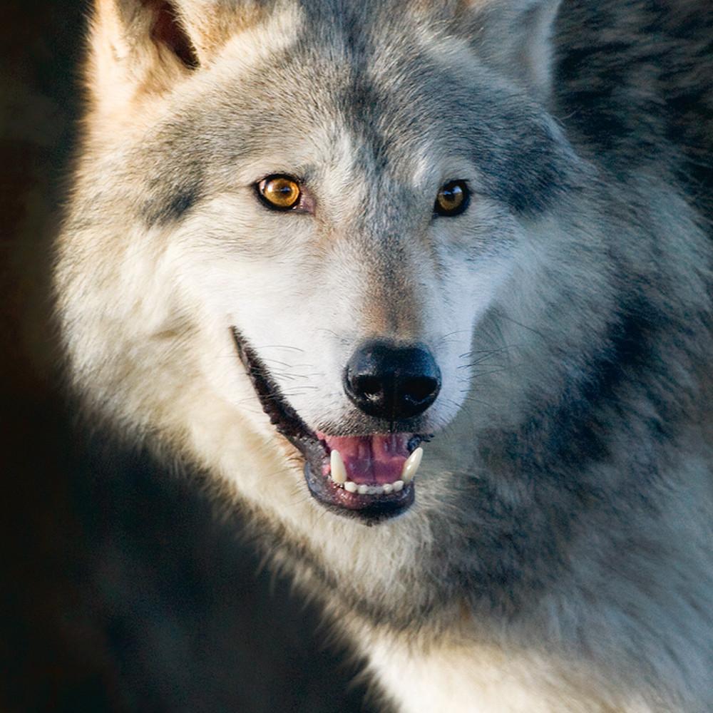 Wolves 003 ho9pc3