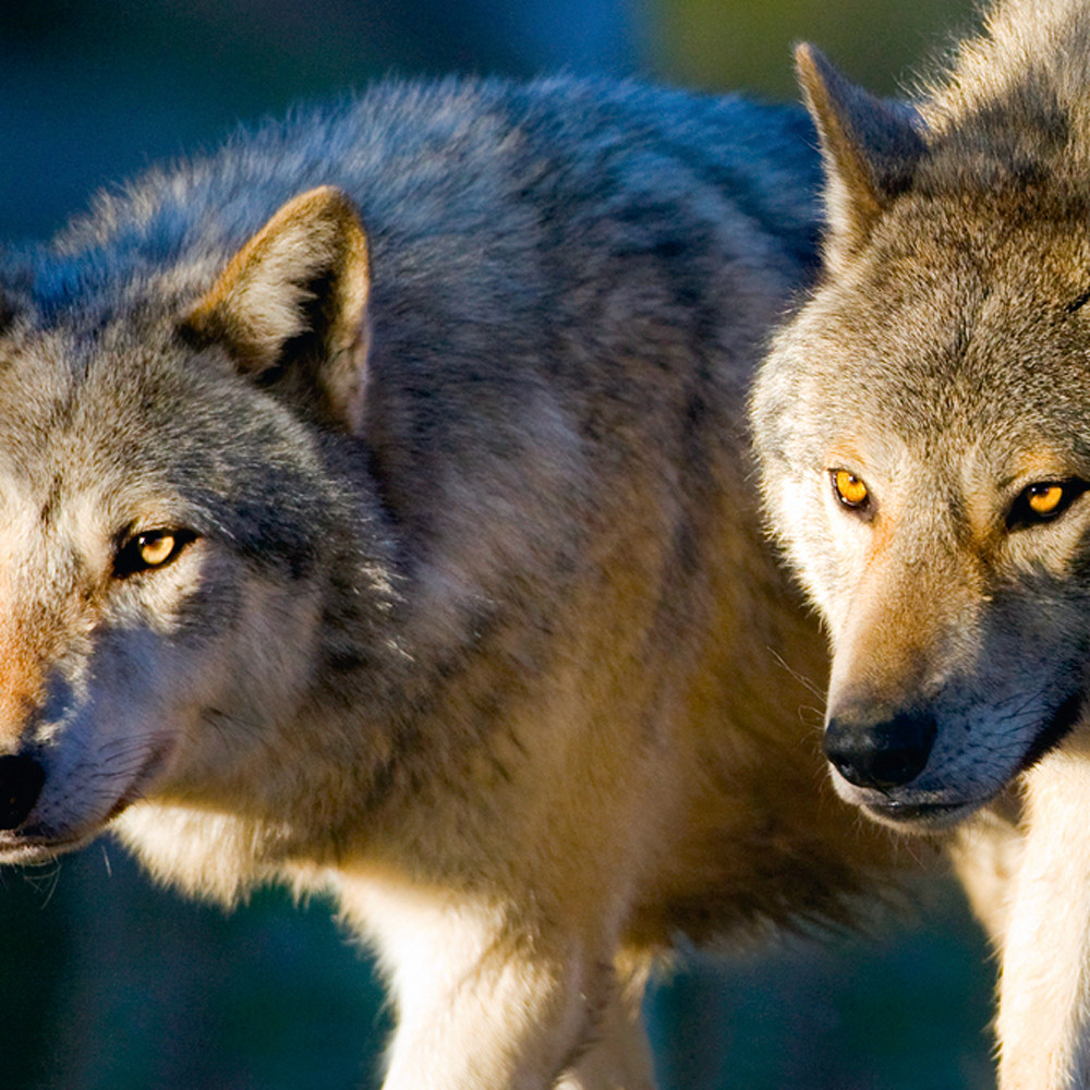 Wolves 002 jknhwh