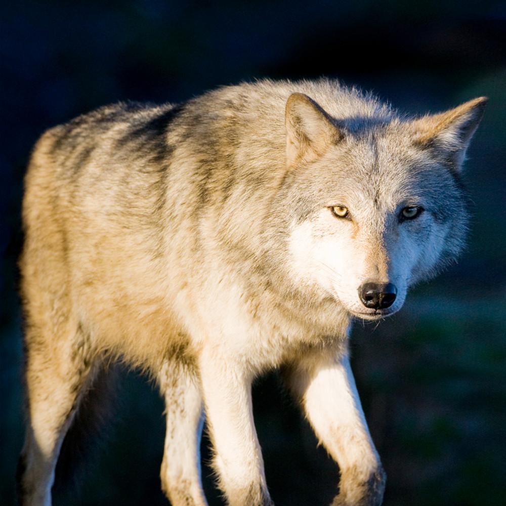 Wolves 011 zas5ne