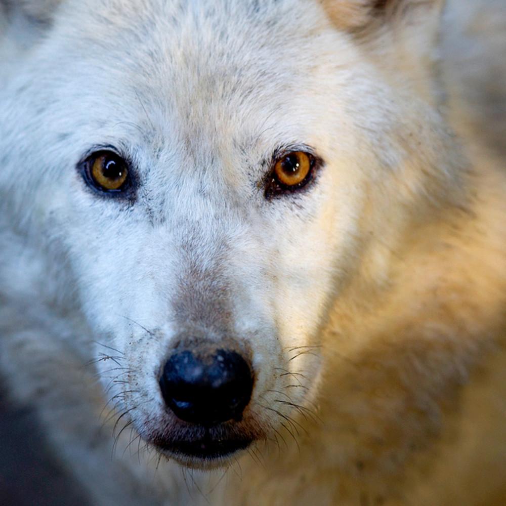 Wolves 015 tqrtze