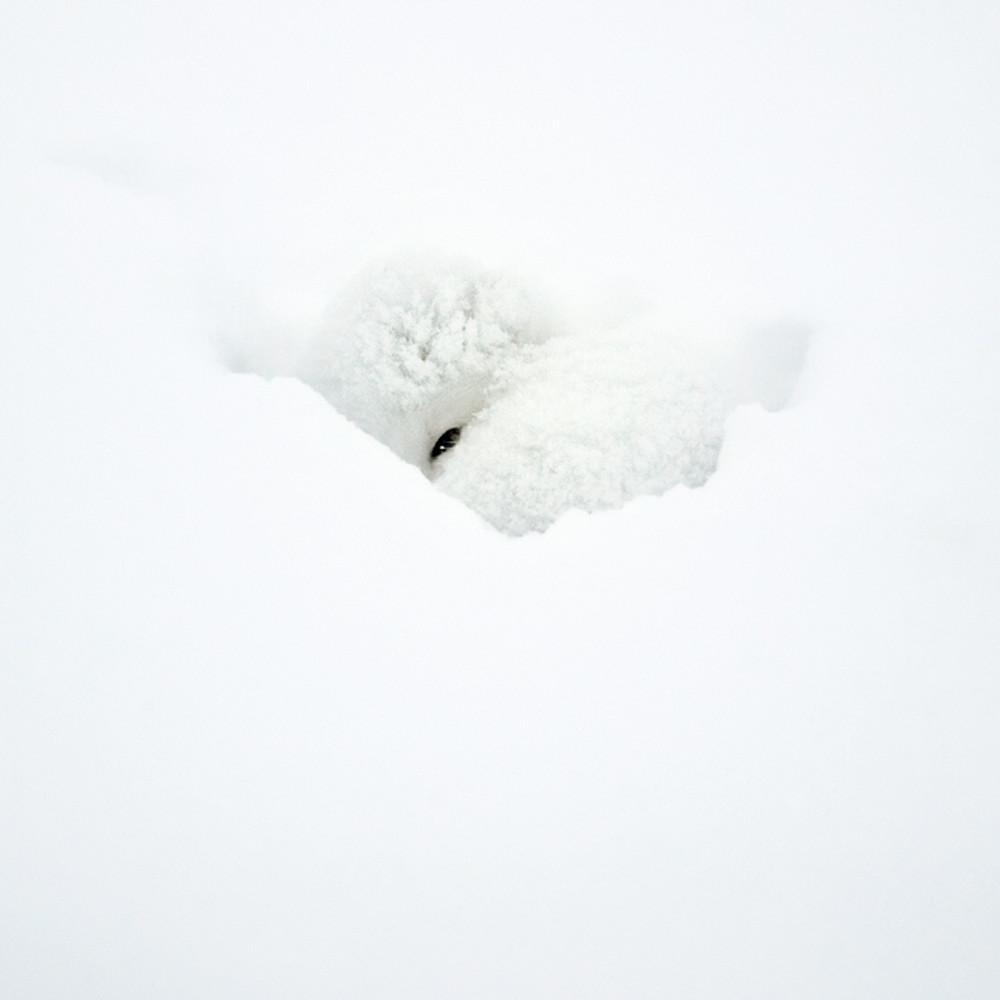 Arctic foxes 004 ouh7nj