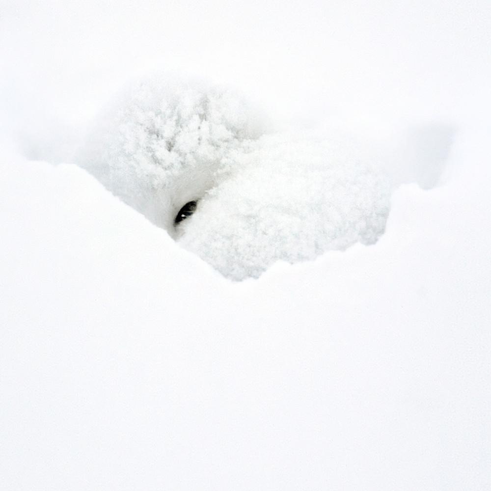 Arctic foxes 003 s48h8y