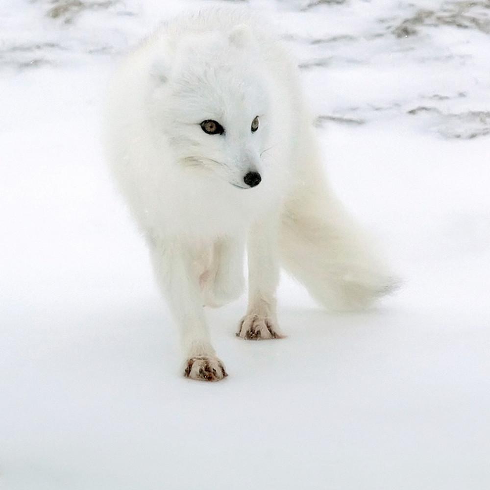 Arctic foxes 008 suibgk