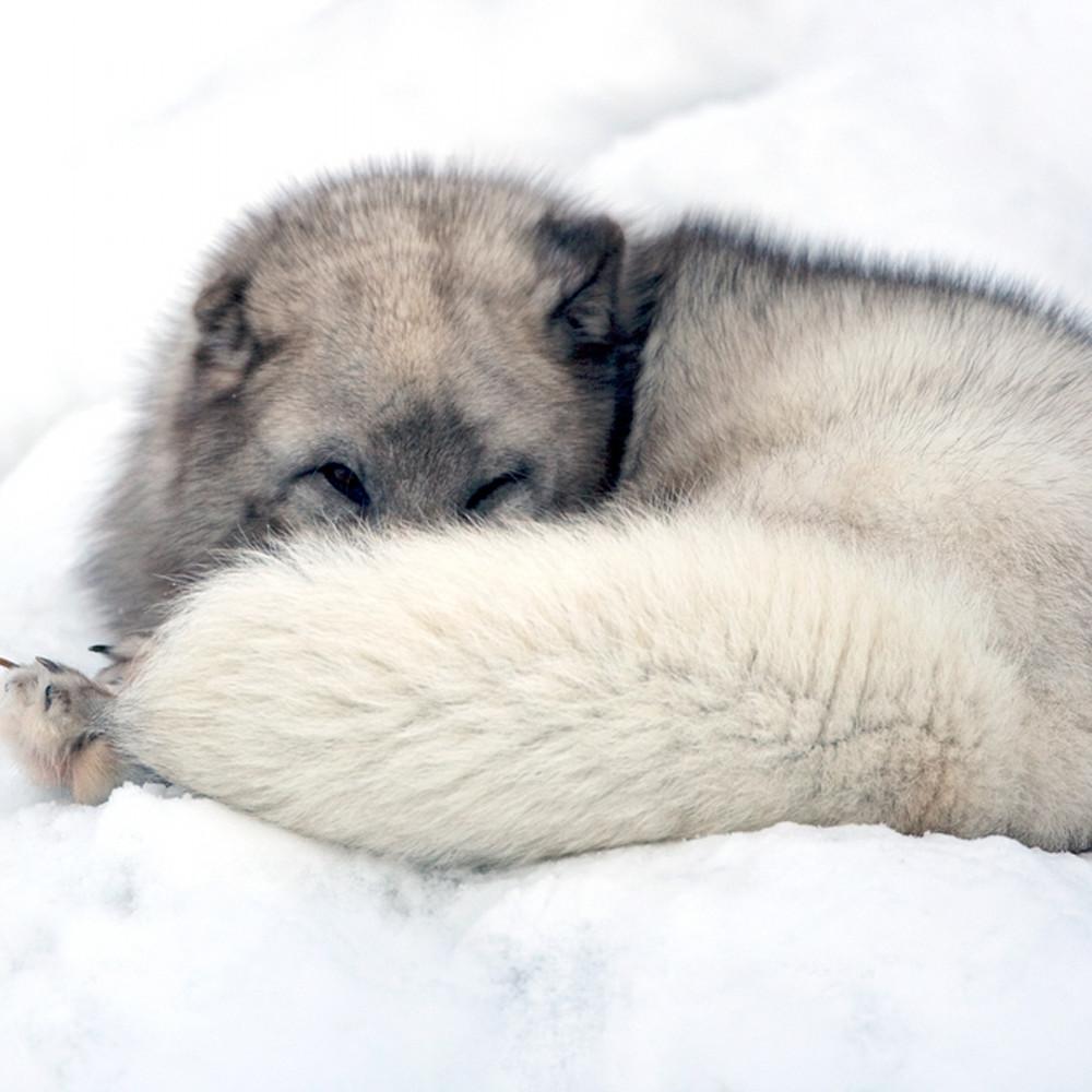 Arctic foxes 010 kvnepr