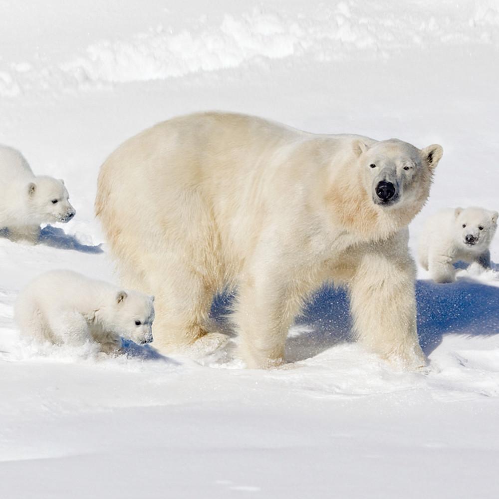 Polar bears 013 nr2uct