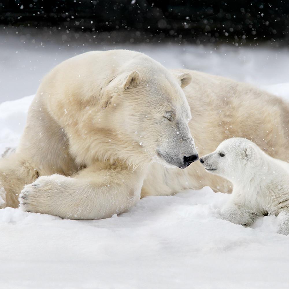 Polar bears 023 e5nujf