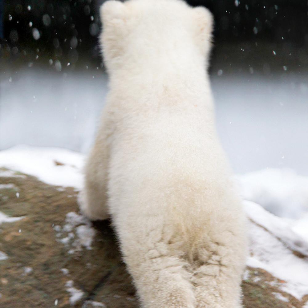 Polar bears 029 nkueg7