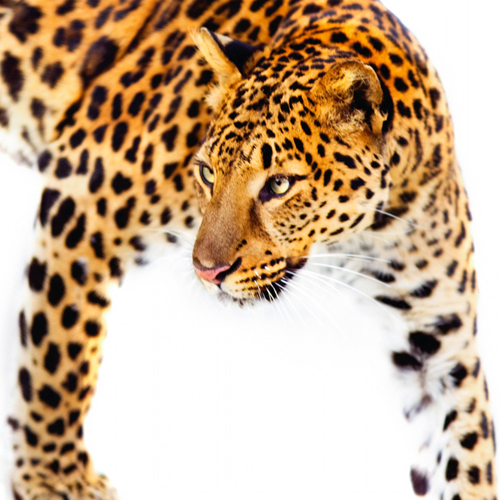 Amur leopards 011 q3a3li