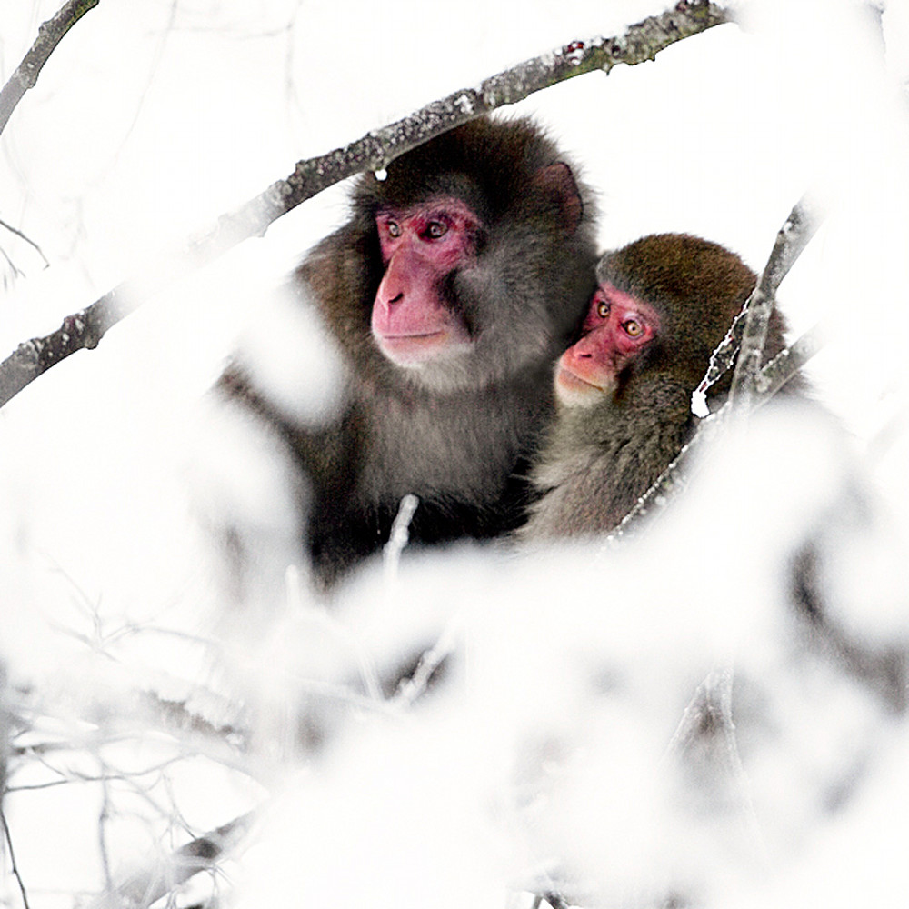 Japanese macaques 011 map58u