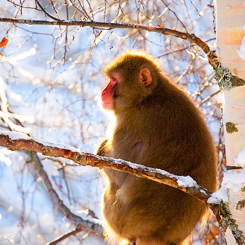 Japanese macaques 010 x9nejw