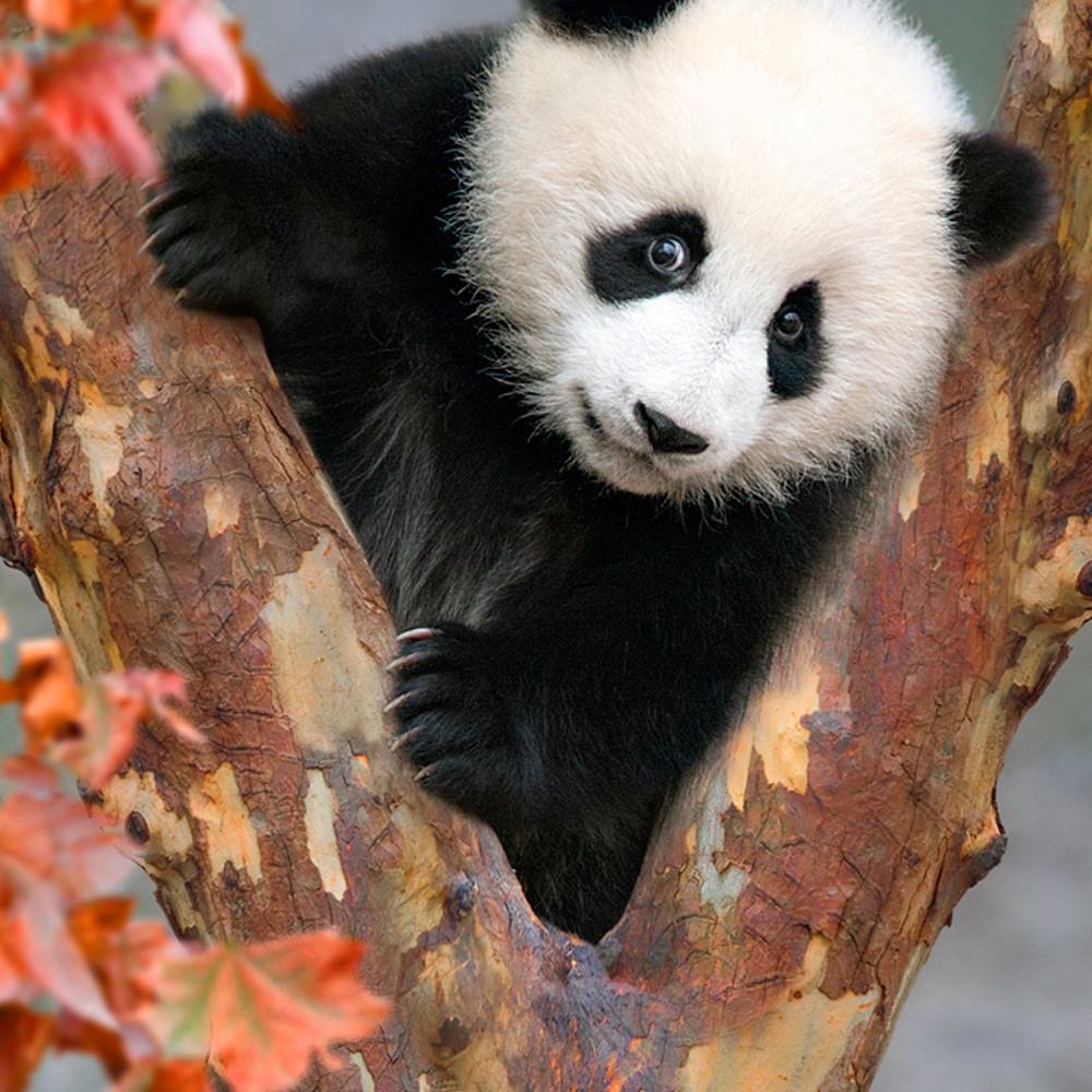 Pandas 006 zo7kby