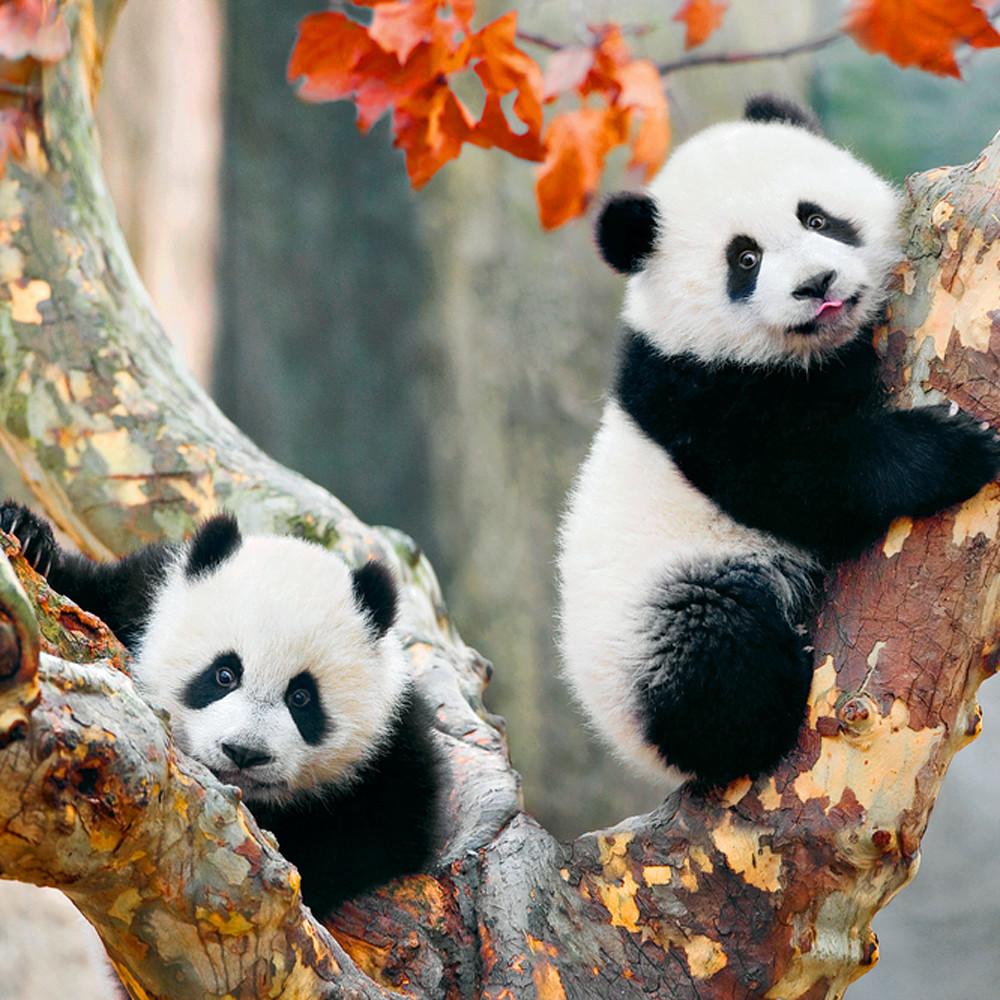 Pandas 001 vjdc8t
