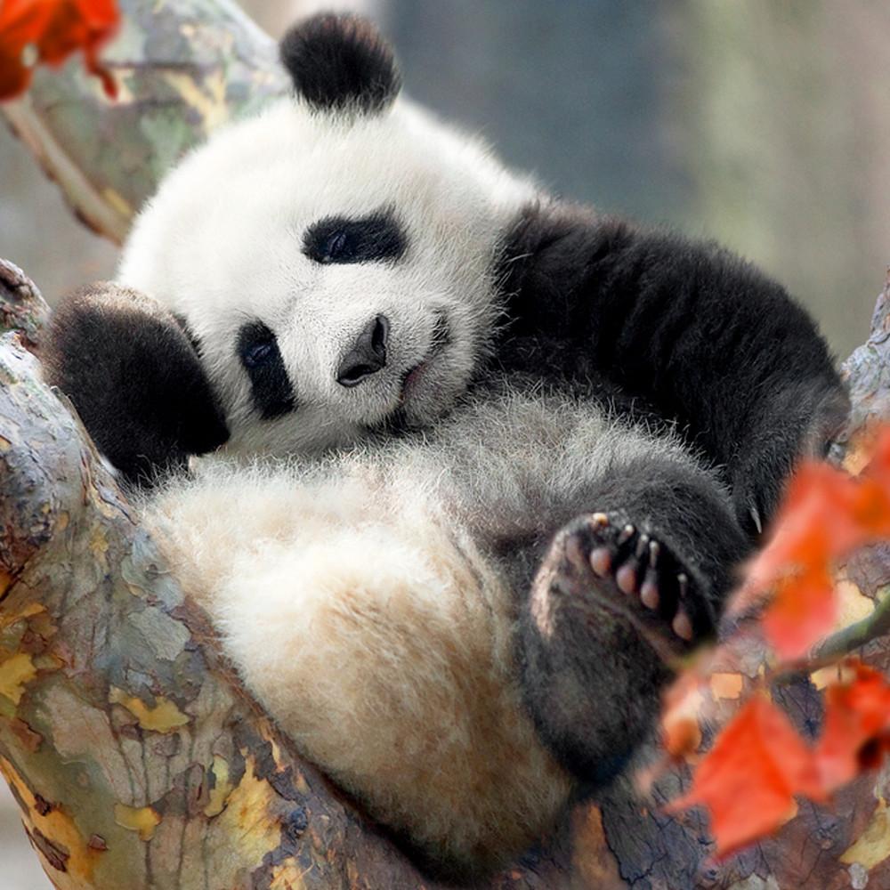 Pandas 003 hkakkc