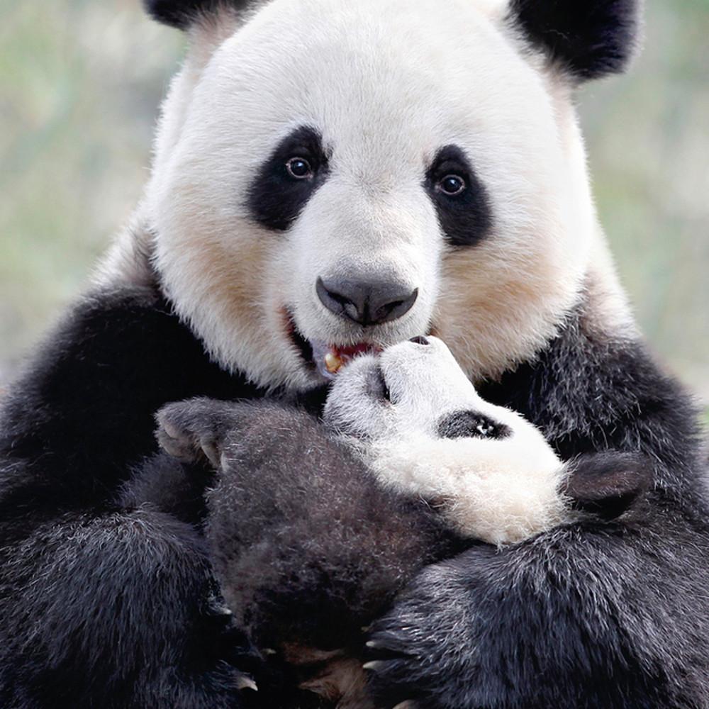 Pandas 007 giztvd