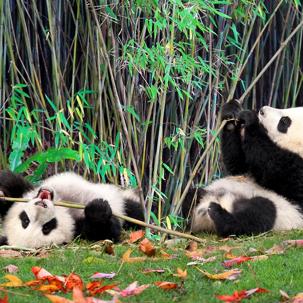 Pandas 015 zhgijf