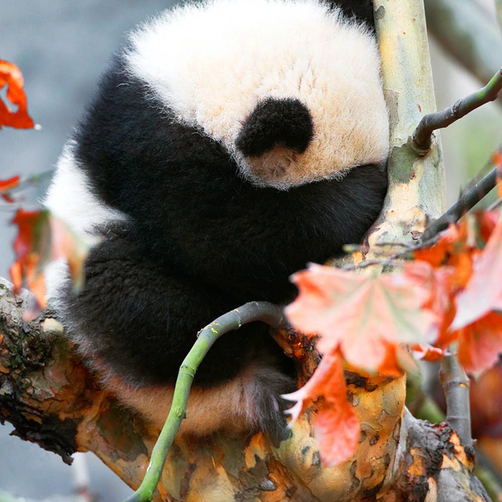Pandas 020 h4zixh