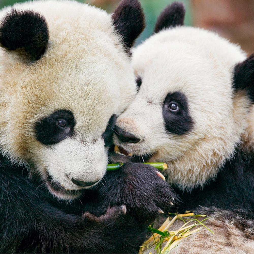 Pandas 044 x9jjlw