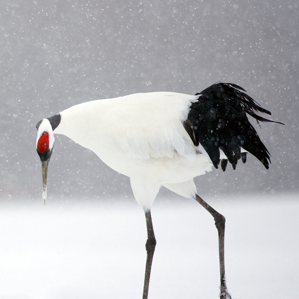 Red crowned cranes 003 fmgdqe