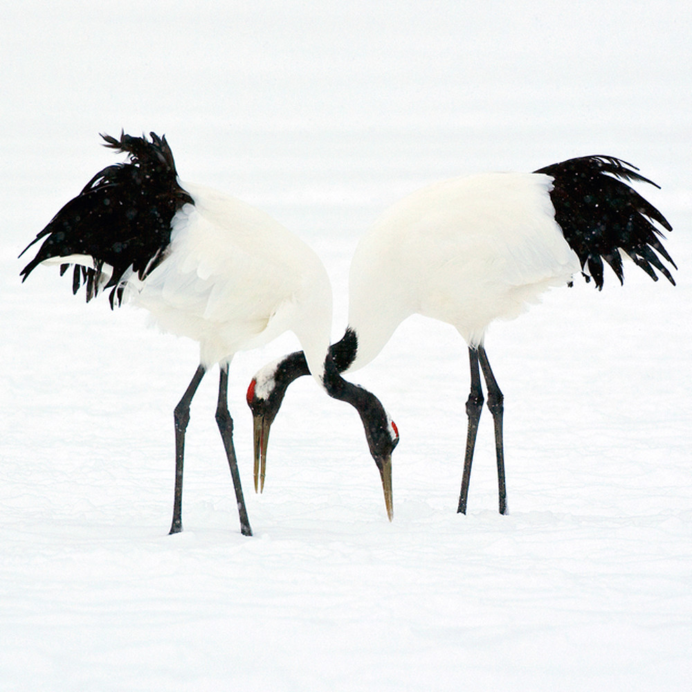 Red crowned cranes 006 s10k7w