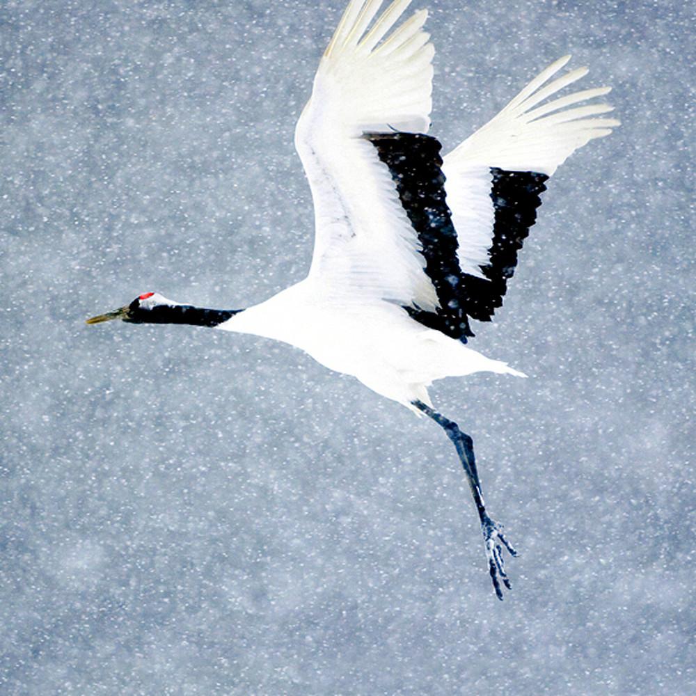 Red crowned cranes 008 dzex9k