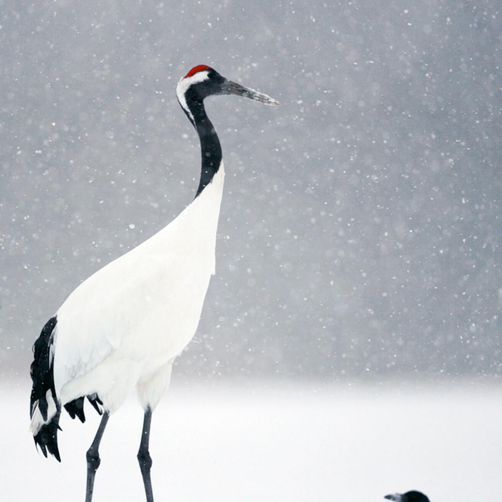 Red crowned cranes 009 hymzcu