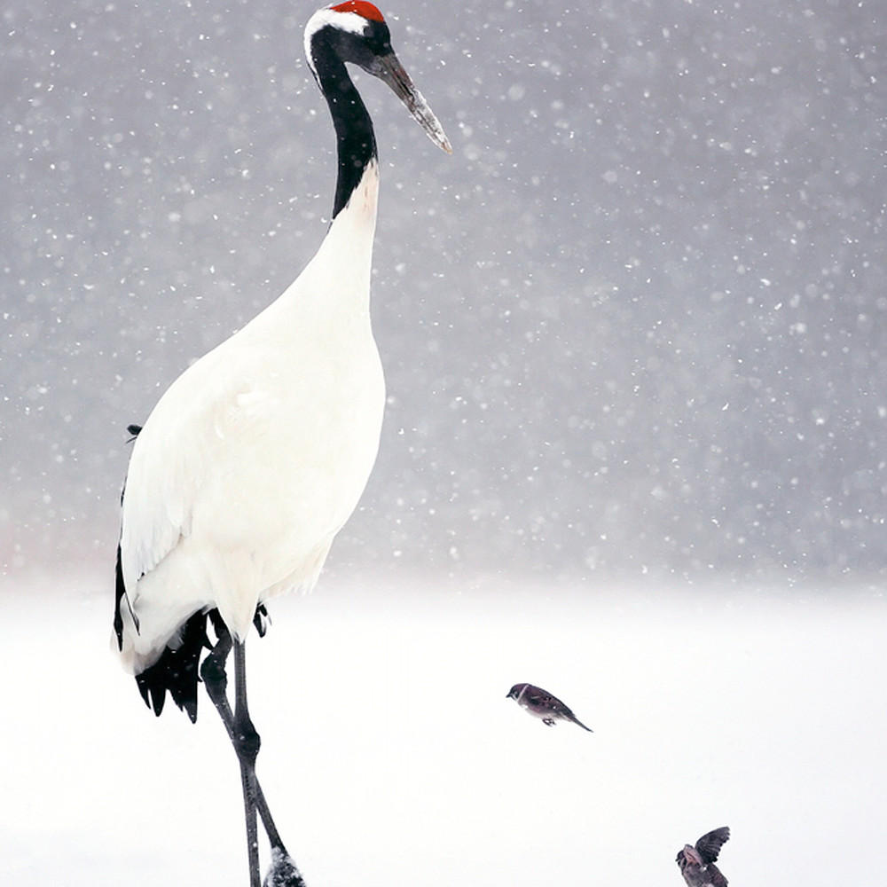 Red crowned cranes 014 o7igqc