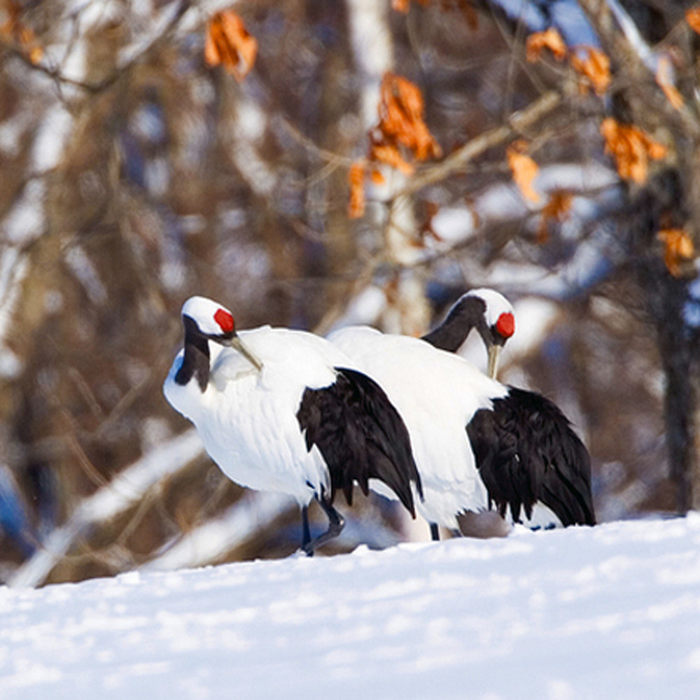 Red crowned cranes 018 wkt0oe