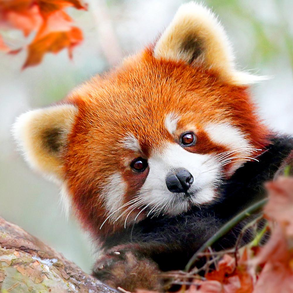 Red pandas 001 vw4a8p