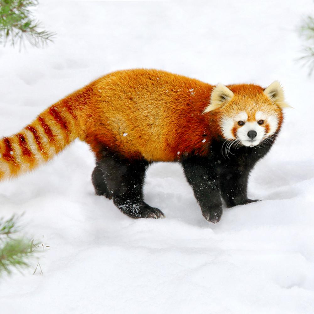 Red pandas 005 qgulyh
