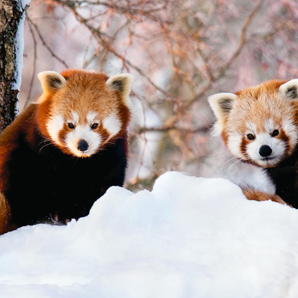 Red pandas 012 mp2x1h