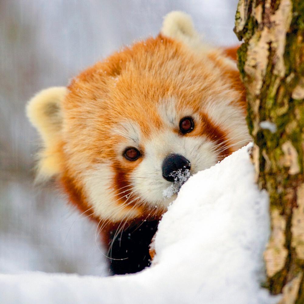 Red pandas 011 lgaljr