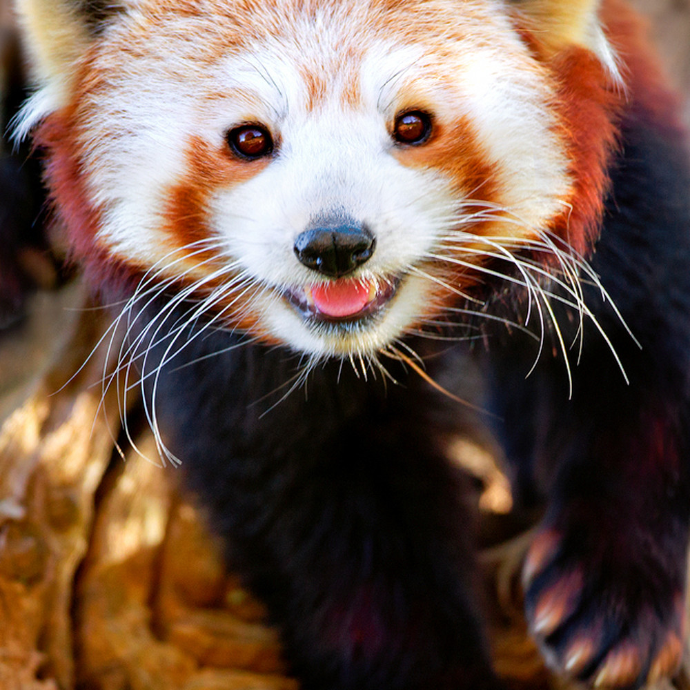 Red pandas 008 stacv0