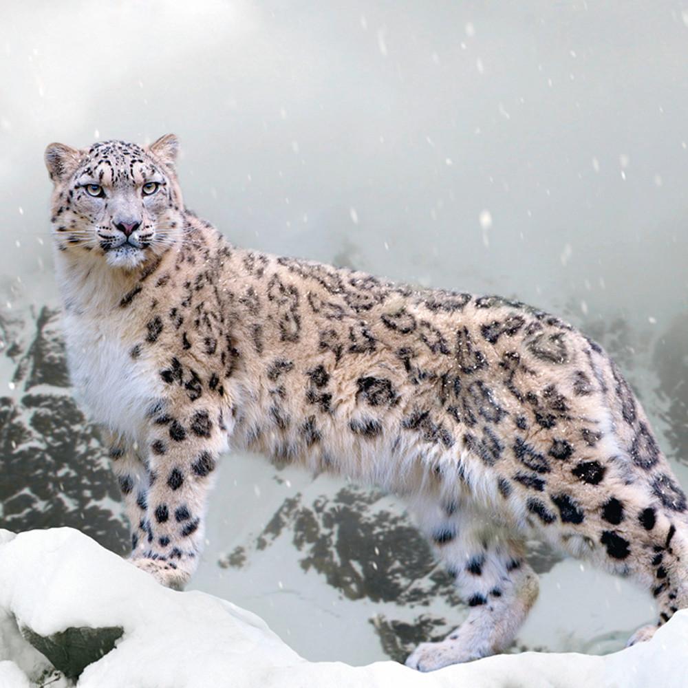 Snow leopards 002 ujepgp