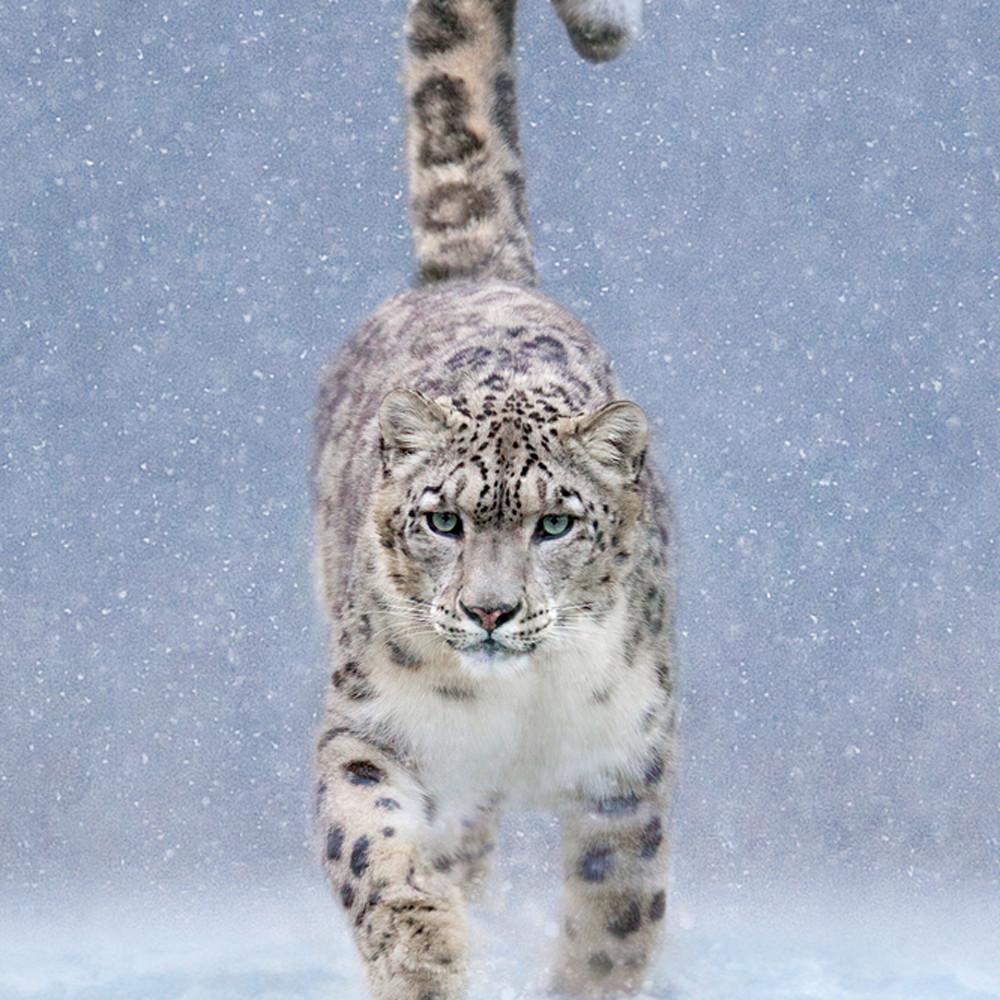 Snow leopards 001 gajkea