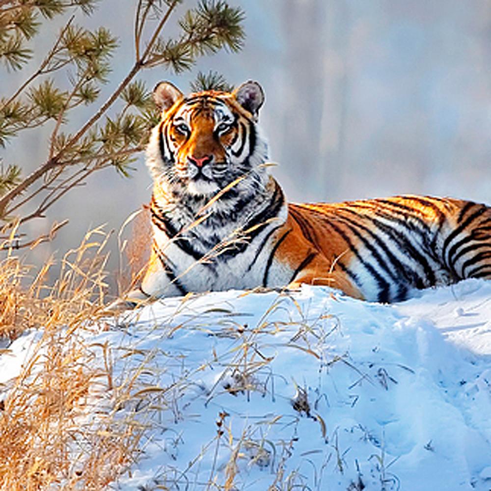 Tigers 001 oae7ju