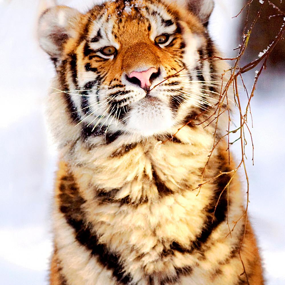 Tigers 005 ifsu6f