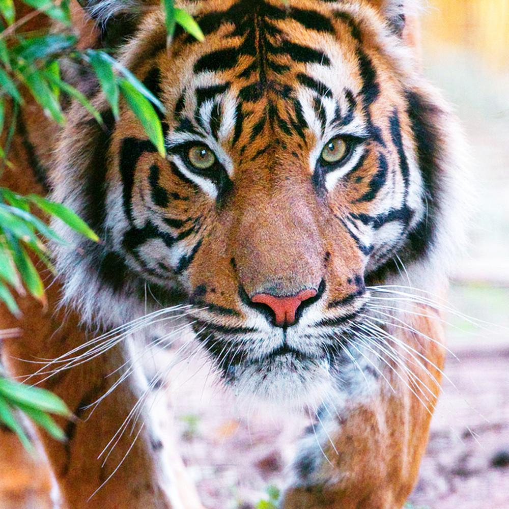 Tigers 010 spvjby