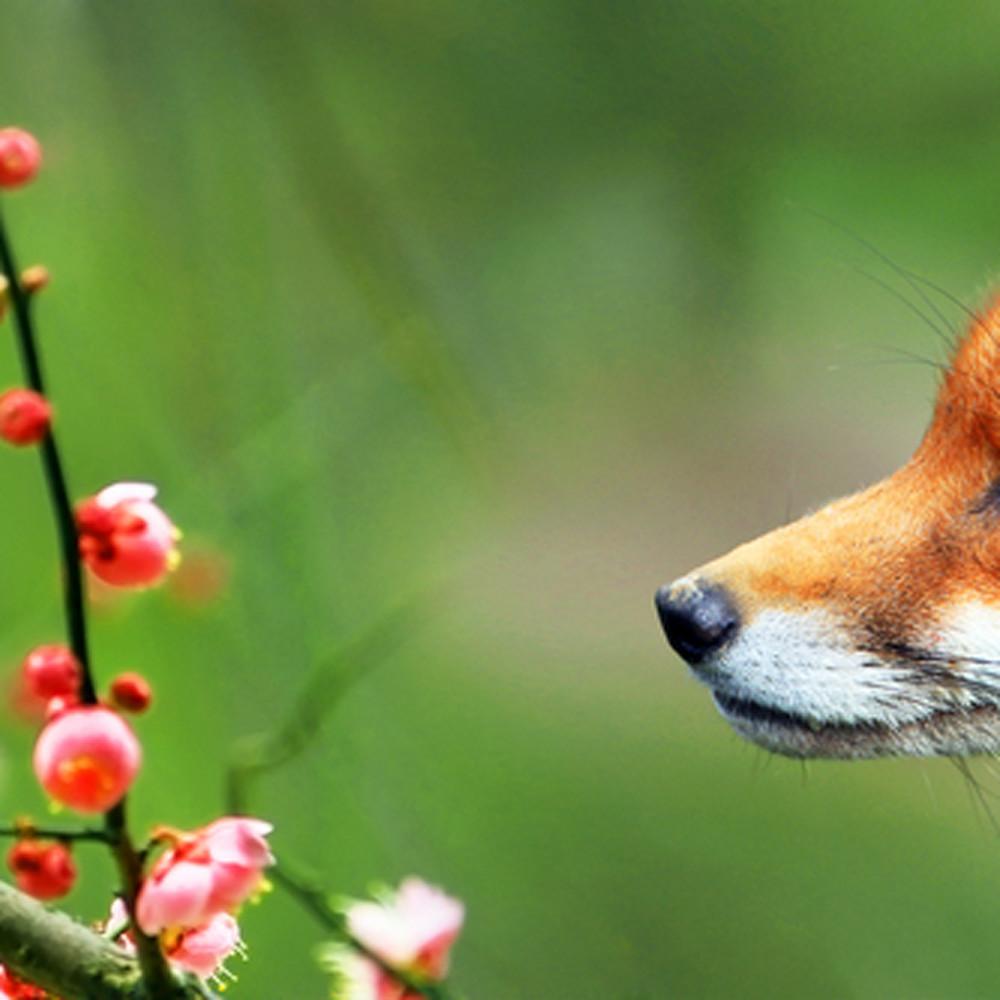 Foxes 001 t0jtr5