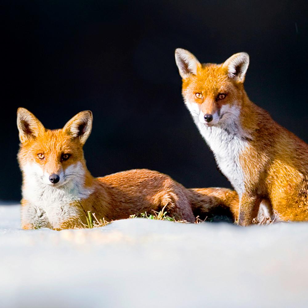 Foxes 006 kuijdt