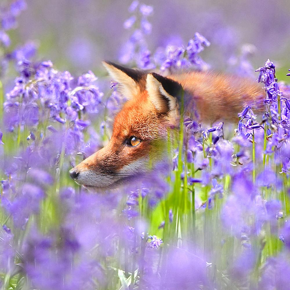 Foxes 002 z17xgq