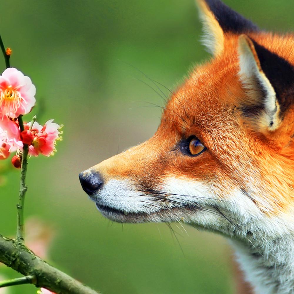 Foxes 003 rofndc