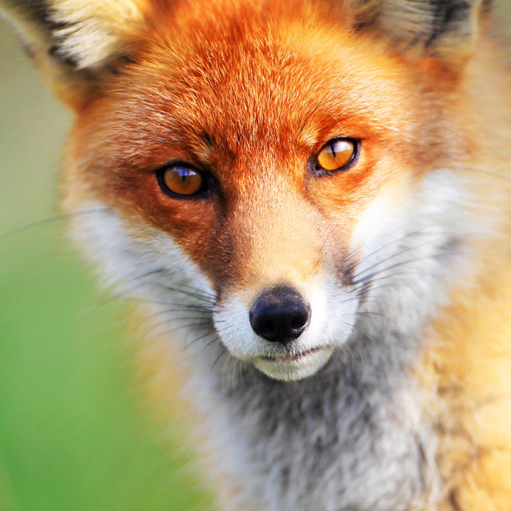 Foxes 009 d6m3dn